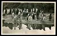 Lot 533 [1 of 2]:Great Britain: black and white PPC of penguins at Edinburgh Zoo, used 1946.