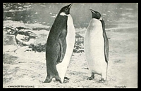 Lot 467:Great Britain: black and white PPC of 'EMPEROR PENGUINS', as Wharton GA-6 but with Plasmon Biscuits advertising using reproduced 1909 endorsement from Shackleton.