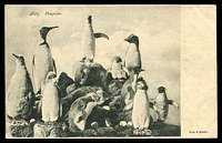 Lot 113:New Zealand: Muir & Moodie black and white PPC of '4603. Penguins', unused.