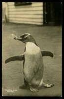 Lot 646:New Zealand: real-photo black and white PPC of 'POPMEY, A1792/AKAROA.' (a penguin), unused.