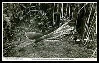 Lot 339:Australia - Birds: black & white PPC 'Lyre Bird, Australia's songbird and wonder mimic', real photo.
