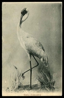 Lot 33:Australia: black & white PPC 'Native Companion', a fine looking Brolga.