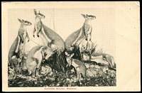Lot 34:Australia: Black & white PPC 'Australian Animals - Wallabies', early card undivided back.
