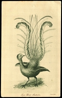 Lot 39:Australia: Black & white PPC 'Lyre Bird Australia'.